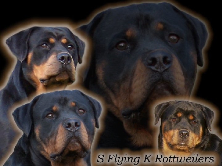S Flying K Rottweilers